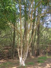 Syzygium luehmannii 10 (barryaceae) Tags: kooloobung creek nature park port macquarie new south wales australia australianrainforestplant ausrfps myrtaceae myrtle family order myrtales