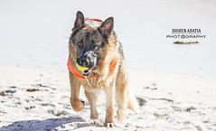 (Dhiren Adatia) Tags: sea dog pet pets beach dogs water animals goldenretriever labrador waves paddle perth beaches splash alsatian westernaustralia dogbeach lovingpets