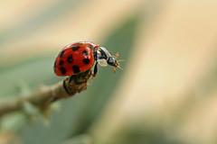 Hanging On [Explored] (Nicola Riley) Tags: macro nature closeup canon insect foliage explore spots ladybird 580ex hibernation hangingon speedlite explored ruthhart nicolariley 7dmarkii canon7dmarkii 2015nicolariley