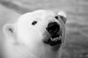 _DSC9063bw (KateSi) Tags: bear blackandwhite bw white black animals zoo oso colorado bears denver polarbear animales polar denverzoo bjorn ours osos isbjorn bjorner