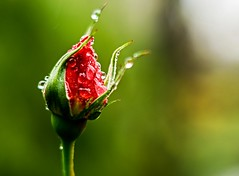 Unser Garten-letzte Rose-3 (joerg.stappen) Tags: rose pflanze blume unsergarten