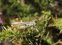 Grasshopper (rockwolf) Tags: france insect grasshopper orthoptera charente 2015 rockwolf chorthippusbinotatusbinotatus étangdesbelettes