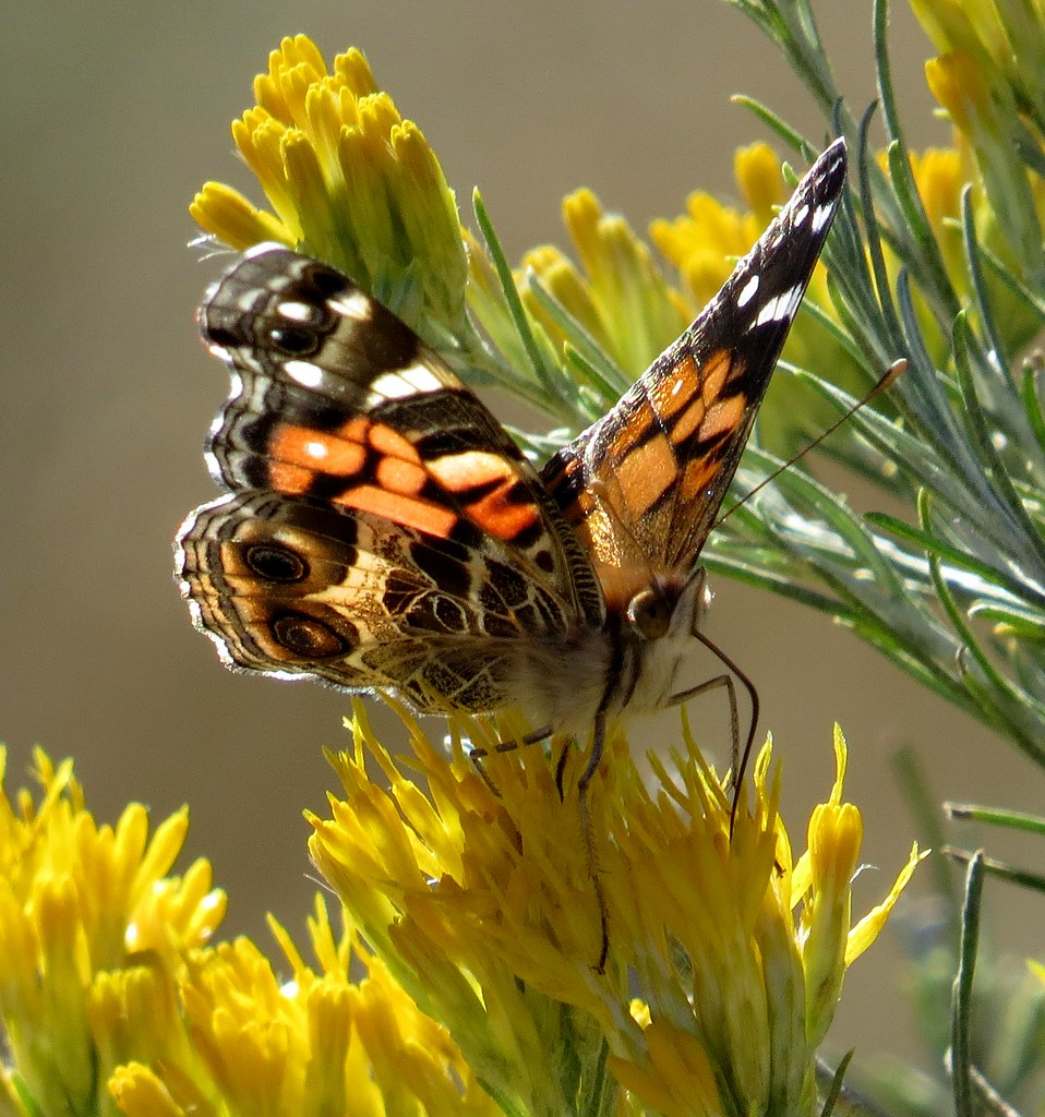 the world s best photos of insects and rabbitbrush flickr hive mind