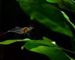 Camarn Fantasma (jo.alvarezv) Tags: underwater shrimp fishtank transparent acuario freshwater transparente gamba aquaria translucid ghostshrimp aguadulce translcido camarn bajoelagua camarnfantasma