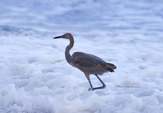 Reddish Egret (Egretta rufescens) REEG - Immature Egret Floating on Foamy Clouds...