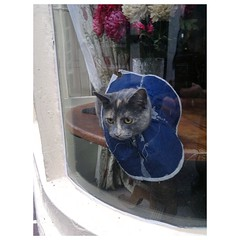 Cat in a ruff in a window (Ella Mullins) Tags: cat warwickshire funnycat alcester catsofflickr