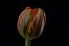 Tulip (Funchye) Tags: nikon tulipan tulip d610 105mm