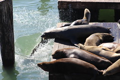 there! (Chantal Harvey) Tags: fishermanswarf sanfrancisco frisco chantalharvey seals seal pontoons harbour fun usa