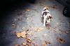 (Benedetta Falugi) Tags: cat leaves film filmisnotdead filmphotography fujisuperia analog analogue analogphotography yellow orange felino gatto street beliveinfilm benedetafalugi 35mm istillshootfilm ishootfilm grey