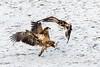 Eagles 1.7.17-21 (alan.forshee) Tags: bald eagles juvenile mature feeding playing tustling flight ice winter bird prey raptor beauty snow tree fish