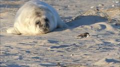 Baby seal, one from 352 this season ❤ (BrigitteE1) Tags: babyseal babyrobbe robbe seal helgoland heligoland strand beach
