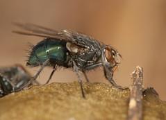 One more blow fly... (cotinis) Tags: insect diptera calliphoridae blowfly northcarolina piedmont fridayflyday sigma150mmexdgf28macro fungus phallaceae phallusravenelii stinkhorn easternstinkhorn