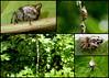 Trashline Orbweavers Cyclosa conica (Bugldy99) Tags: spider animal arachnid arachnida arthropod arthropoda araneae