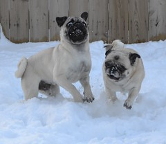 Pug Snow Plows (DaPuglet) Tags: pug puppy dog snow snowplow snowface playing winter funny cute lol pets animals little laughed stories pet pugs animal outdoor dogs coth coth5 sunrays5