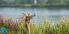 Common Kingfisher (Alcedo atthis) Tulžys