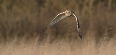 Short-eared Owl (KHR Images) Tags: shortearedowl short eared owl seo inflight flying hunting sunshine sunlight wild bird birdofprey asioflammeus tubneyfen cambridgeshire eastanglia wildlife nature nikon d7100 kevinrobson khrimages