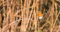 Robin-3206 (WendyCoops224) Tags: 100400mml 70d norfolk titchwell birds canon eos ©wendycooper robin