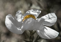 Belle (scuthography) Tags: lompoc california usa belle beauty elegancy pulchritude white yellow flower awesome bonniness loveliness canon6d scuthography