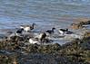 Brent Geese Feeding (Roy Lowry) Tags: brantabernicla brentgoose hilbreisland
