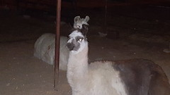 Llama (cjacobs53) Tags: jacobs jacobsusa 116picturesin2016 scavenger hunt annual yearly llama furry animal