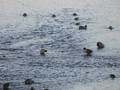 Green Winged Teal Hayle Birdwatching pics 22Jan2017 (ecology_garden) Tags: green winged teal anas carolinensis