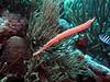 Trumpetfish (Wim Bollein) Tags: scuba diving divingparadise diversparadise underwater underwaterparadise uwphotography bluewaters ocean bonaire redslave dutchcaribbean caribbean fish animal coral underthesea water