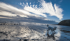 I Love the beach..... (John - Nash) Tags: st bees stbees cumbria westcumbria lakedistrict beach sky cloud blue white before sunsrise landscape seascape beachscape sea water waves foam wideangle canon dog labradoodle bouncing excited