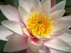 Nymphaea caerulea (✿ Graça Vargas ✿) Tags: nymphaeacaerulea nenúfar líriod´água waterlily graçavargas ©2017graçavargasallrightsreserved flower 11511100217