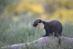 Scotland (richard.mcmanus.) Tags: scotland blackisle pinemarten highlands wildlife richardmcmanus jamesmoore gorse gettyimages britishwildlife