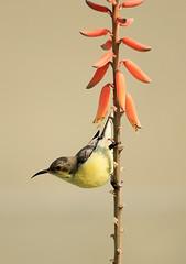 Yellow Sunbird (Curlylocks) Tags: bird sunbird yellow animal wildlife upsidedown flower aloevera
