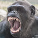 Chimp yawn