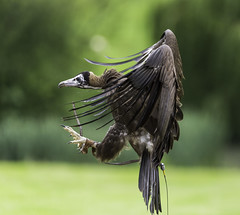 Vulture with talons out (SleepySheepy22) Tags: 6d canon talon talons outside outdoors wild wildlife countryside vulture bird animal prey bif
