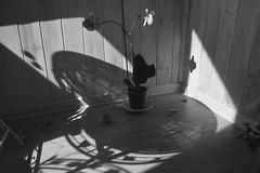 Sunny afternoon (Lana Kim) Tags: filmphoto filmsc analog blackandwhite monochrome 35mm stilllife flower naturemorte натюрморт orchids athome homesweethome