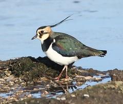 Lapwing - In the sunshine on the Rushy Pen lake (glostopcat) Tags: lapwing bird peewit glos slimbridge wildfowlwetlandstrust