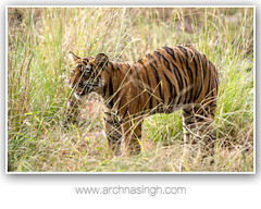 Wild India (Archna Singh Photography and Design Studio) Tags: wildindia wildlife incredibleindia india tigers tiger royalbengaltiger ranthambhore