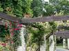 Rustic pergola (idunbarreid) Tags: pergola roses