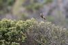 DSC_7770 (mylesm00re) Tags: f africa anthobaphesviolacea nectariniidae orangebreastedsunbird oranjeborssuikerbekkie rooiels southafrica westerncape za bird