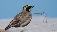 Kulakli toygar (Dursun BAL) Tags: kulaklıtoygar hornedlark kuş bird
