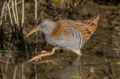 DSC6477 Water Rail.. (jefflack Wildlife&Nature) Tags: waterrail rails waterbirds waterways birds avian animal wildlife wildbirds waders canals lakes ponds marshland marshes countryside nature