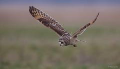 Velduil - Short-eared Owl - Asio flammeus -1965 (Theo Locher) Tags: velduil shortearedowl sumpfohreule hiboudesmarais asioflammeus vogels birds vogel oiseaux belgie belgium copyrighttheolocher