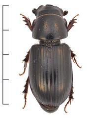 Liothorax plagiatus (Oskar Gran) Tags: coleoptera beetle scarabaeidae scarabbeetle strandjordkrypare