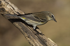 Yellow-rumped Warbler (AllHarts) Tags: yellowrumpedwarbler backyardbirds cordovatn naturesspirit thesunshinegroup naturescarousel ngc npc