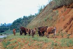 Cattle on Hillside, Sơn La Vietnam (AdamCohn) Tags: 092kmtobnsonginsnlavietnam adamcohn bnsong snla sơnla vietnam cattle geo:lat=21494208 geo:lon=103660382 geotagged hills karst mountains wwwadamcohncom phổnglăng