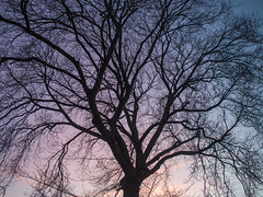 20161229-0034 (www.cjo.info) Tags: edinburgh europe europeanunion leith leithlinks mzuiko m43 m43mount microfourthirds olympus olympusmzuikodigital17mmf18 olympuspenepl3 olympuspenlite scotland unitedkingdom westerneurope zuiko digital evening eveninglight flora plant sillouette sky sunset tree