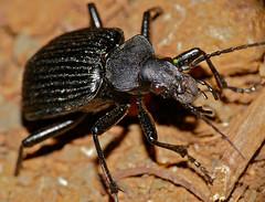 Ground Beetle (Calosoma planicolle) (berniedup) Tags: groundbeetle calosomaplanicolle beetle taxonomy:binomial=calosomaplanicolle lowersabie kruger