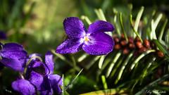 Délicates violettes (christelerousset) Tags: fleur flower fleurs flowers violette violettes violets violet spring printemps nature campagne country limousin france délicate delicate
