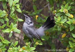 Gray Catbird (Dumetella carolinensis) GRCA - On Alert (Best appreciated large)