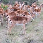 Antilopen, Südafrika