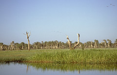 Australia 1997 - WETLANDS - early morning boat trip in Kakadu NP (Mc Steff) Tags: park boat nationalpark tour australia national 1997 kakadu np australien billabong boattrip bootsfahrt backwaters wetland northernterritory bootstour billabongs sumpfgebiet wtlands sumpfgebiete