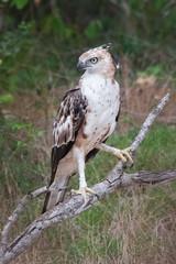 Crested Hawk Eagle (Jay Mannapperuma) Tags: eye birds eagle hawk sharp crested wilelife